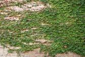 зеленый плющ листья на стене — Стоковое фото