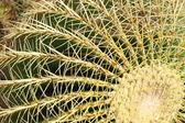 Golden barrel cactus, Echinocactus Grusonii — Stock Photo
