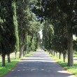 Cypress tree alley — Stock Photo