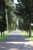 Cypress tree alley — Stock Photo