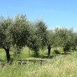 Olive grove — Stock Photo #15464093