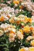 Bush of dog rose flowers — Stock Photo