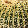 Golden barrel cactus, Echinocactus Grusonii - Stock Photo