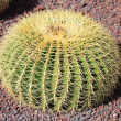 Golden barrel cactus — Photo #22000031