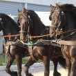 Carriage towed by three black horse — Stock Photo