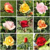 Collage of beautiful roses — Stock Photo