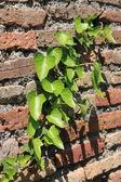 Feuilles de lierre vert sur un mur — Photo