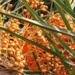 Palm dates — Stockfoto #26392127