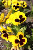 Yellow Pansy flowers — Stock Photo