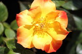 Yellow dog rose flower — Stock Photo