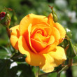 Orange rose — Stok fotoğraf