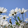 Stock Photo: Chamomile, flowers