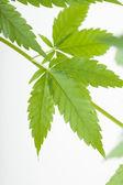 Rostlin konopí, marihuana na bílém pozadí — Stock fotografie