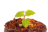 Young sprout in peat tablet, mint plant — Foto Stock