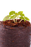 Young sprout in coco substrate, coleus plant — Stock Photo