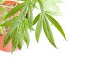 Cannabis plant, marijuana on white background — Stockfoto
