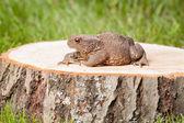 Žába na pařez — Stock fotografie