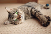 Kitten stretched out on carpet — Stock Photo
