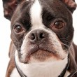 Boston Terrier Dog Close-up — Stock Photo