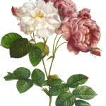 Flower illustration — Stock Photo #15630607