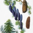 Old botanic illustration — Stock Photo #18581493
