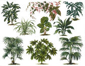 Old botanic illustration — Stock Photo