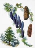 Vecchia illustrazione botanica — Foto Stock