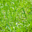 Background of green spring grass on the lawn — Stock Photo
