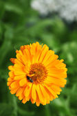 Close up of orange calendula officinalis - Marigold — Stock Photo