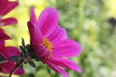 Purple dahlia flowers — Stock Photo
