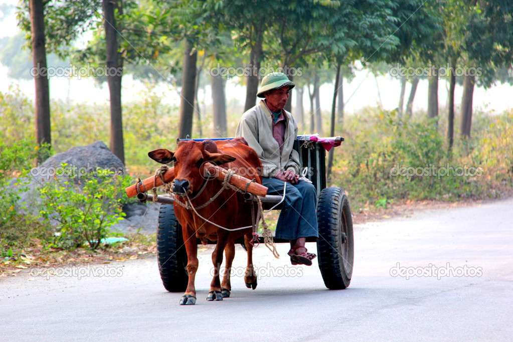 Cow Pulling Wagon : Cow pulling cart stock editorial photo amineah