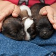 Foto de Stock  : Young puppy dogs sleeping protectected