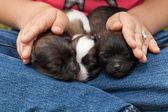 Jonge puppy honden slapen protectected — Stockfoto