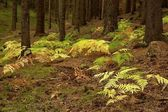 Fern in the spruce forest — Stock Photo