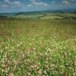 Flowery meadow - Stock Photo