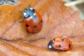 Ladybird — Stock Photo
