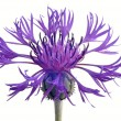 Cornflower — Stock Photo #26088727