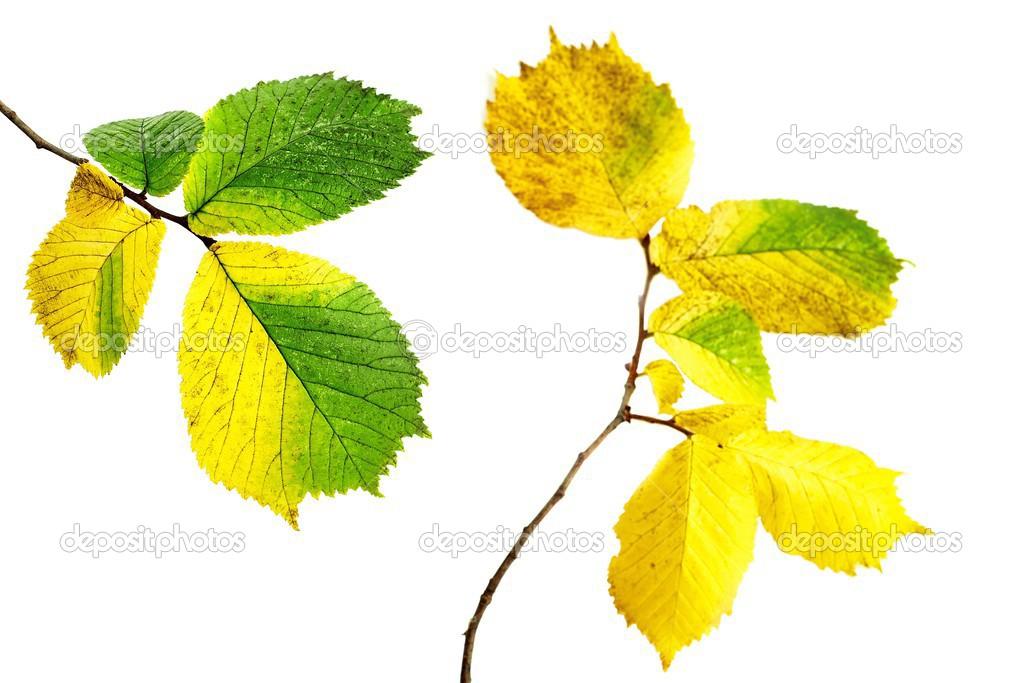 листья ольхи фото
