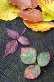 Autumn red raspberry leaf — Stock Photo