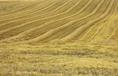 The mown cornfield — Stock Photo