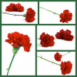Stockfoto: Red carnation
