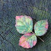 Autumn red raspberry leaf — Stockfoto
