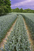 Path corn field — Stock Photo