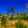 Forest destroyed by bark beetle. The Jizera Mountains. — Stock Photo