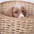 Royalty-Free Stock Photo: Puppy in a basket