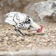 Domestic fowl — Stockfoto