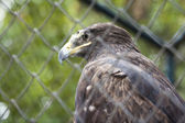 Saker Falcon — Stock Photo