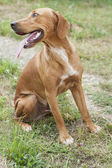 Portrait bloodhound — Stock Photo
