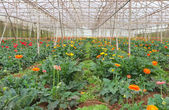 Plantation of gerbera in greenhouse — Stock Photo