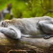 Lazy monkey - Stock Photo